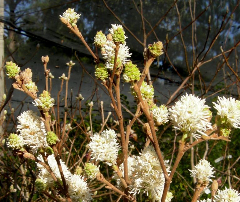 Fothergilla species 'Redneck Nation'
