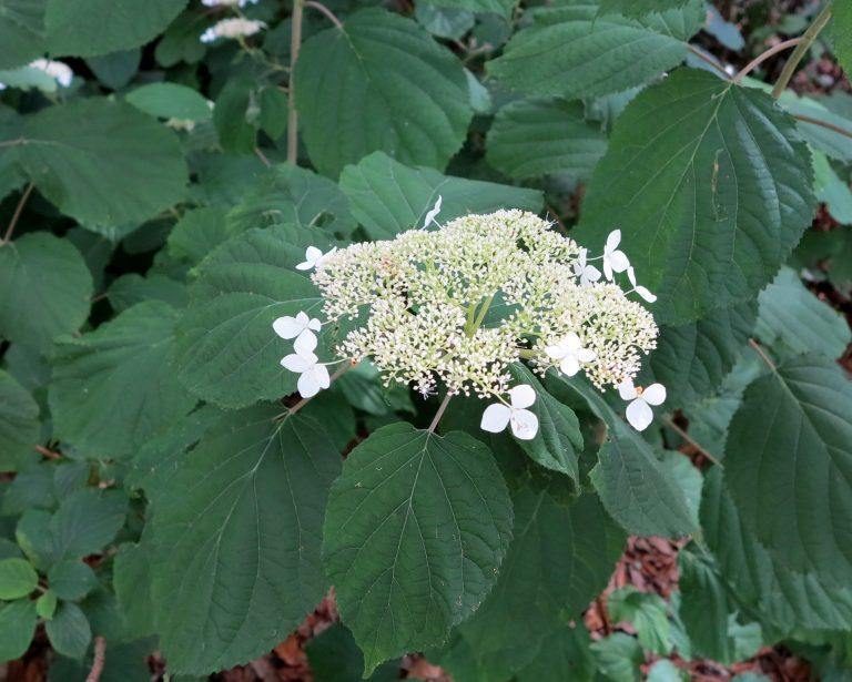Hydrangea arborescens Heat Tolerant strain
