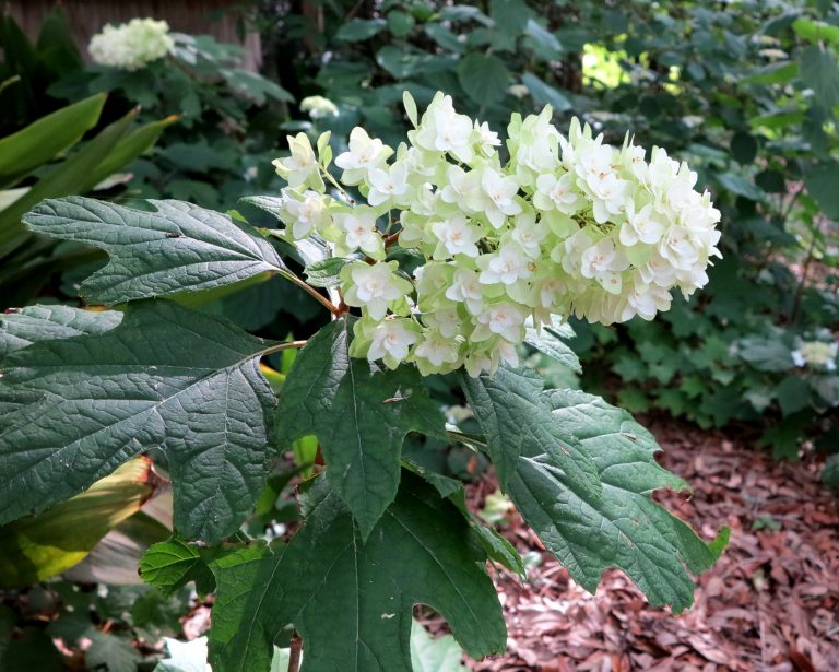 Hydrangea quercifolia Heat tolerant strain