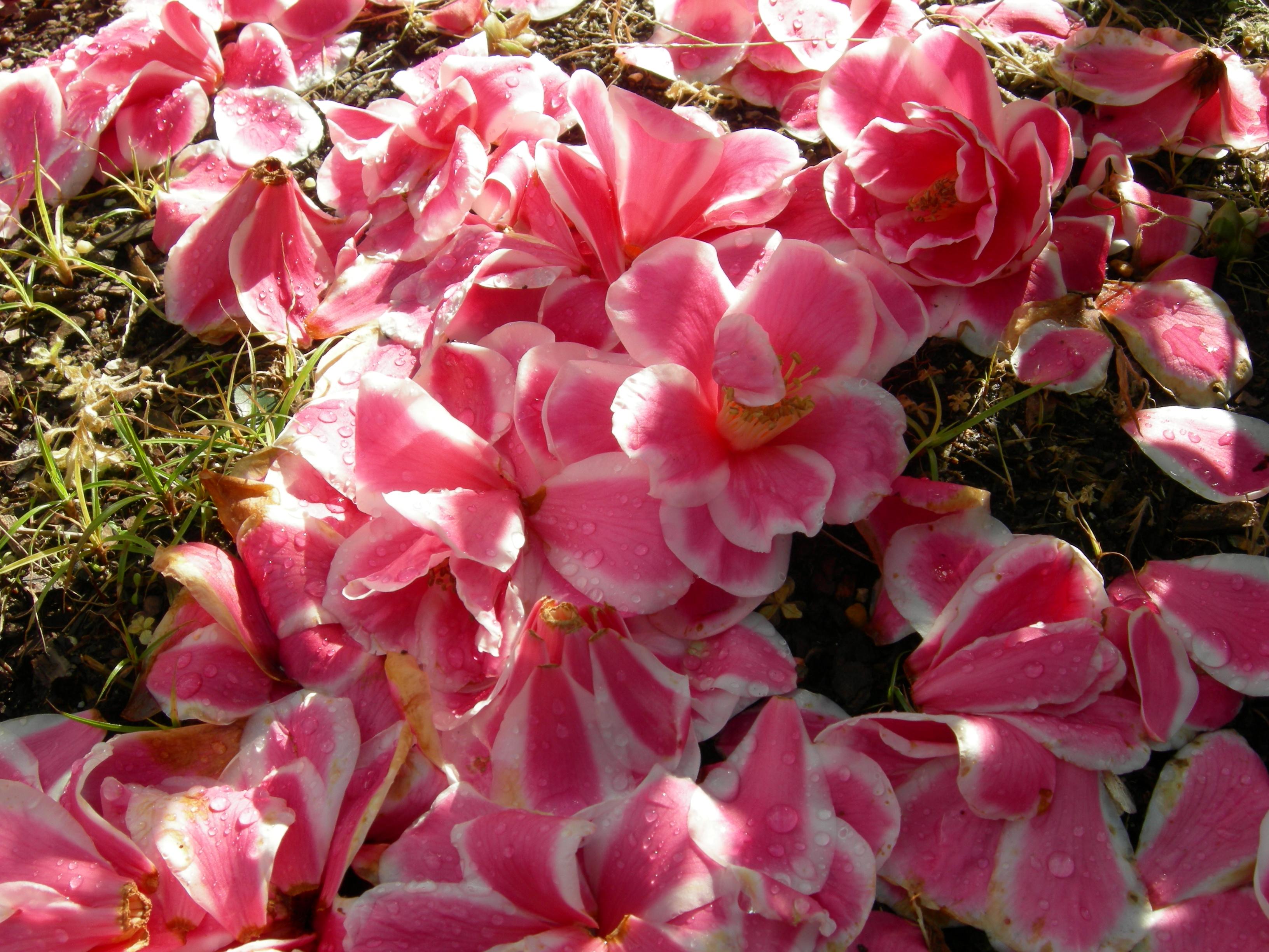 Camellia hybrid 'Christmas Candy'