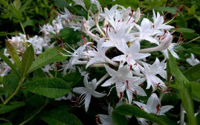 Rhododendron viscosum var. aemulans