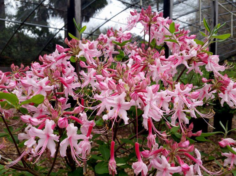 Rhododendron Escambia River # 177