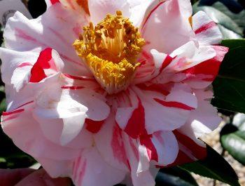 Camellia japonica 'Perditia'