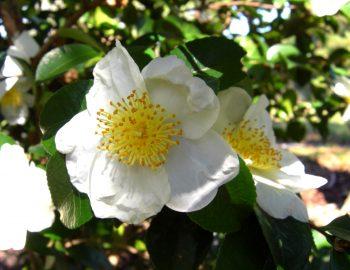 Camellia sasanqua 'Daydream Believer'