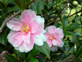 Camellia sasanqua hybrid 'Dream Angel'