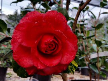 Camellia japonica J-028