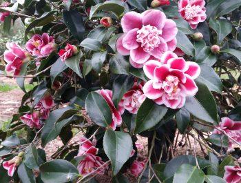 Camellia japonica 'Tama Anemone'