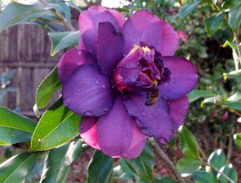 Camellia japonica J-037