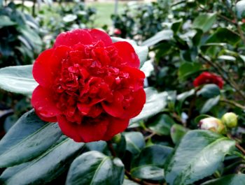 Camellia japonica 'Mary Allen Sargent'