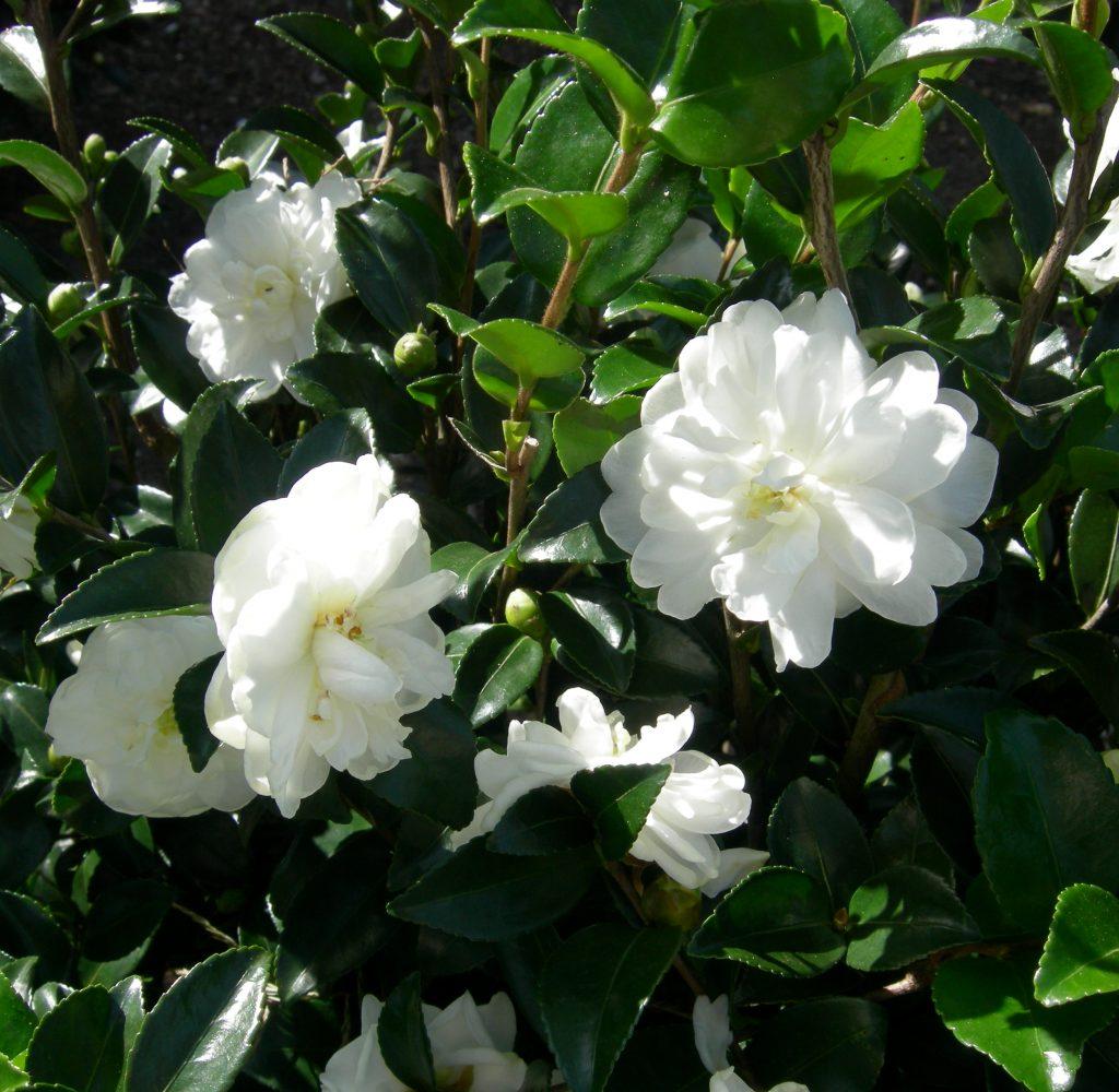 Camellia sasanqua October Magic Bride Green 99-006