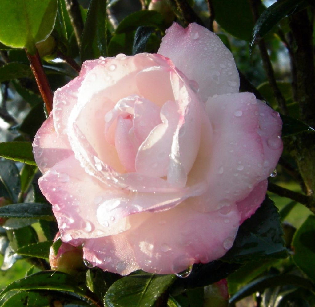 October Magic Dawn-rose form