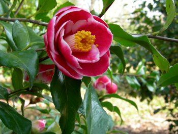 Camellia japonica 'Sadaharu Oh'