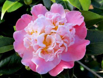 Camellia japonica 'Zelda Fitzgerald'