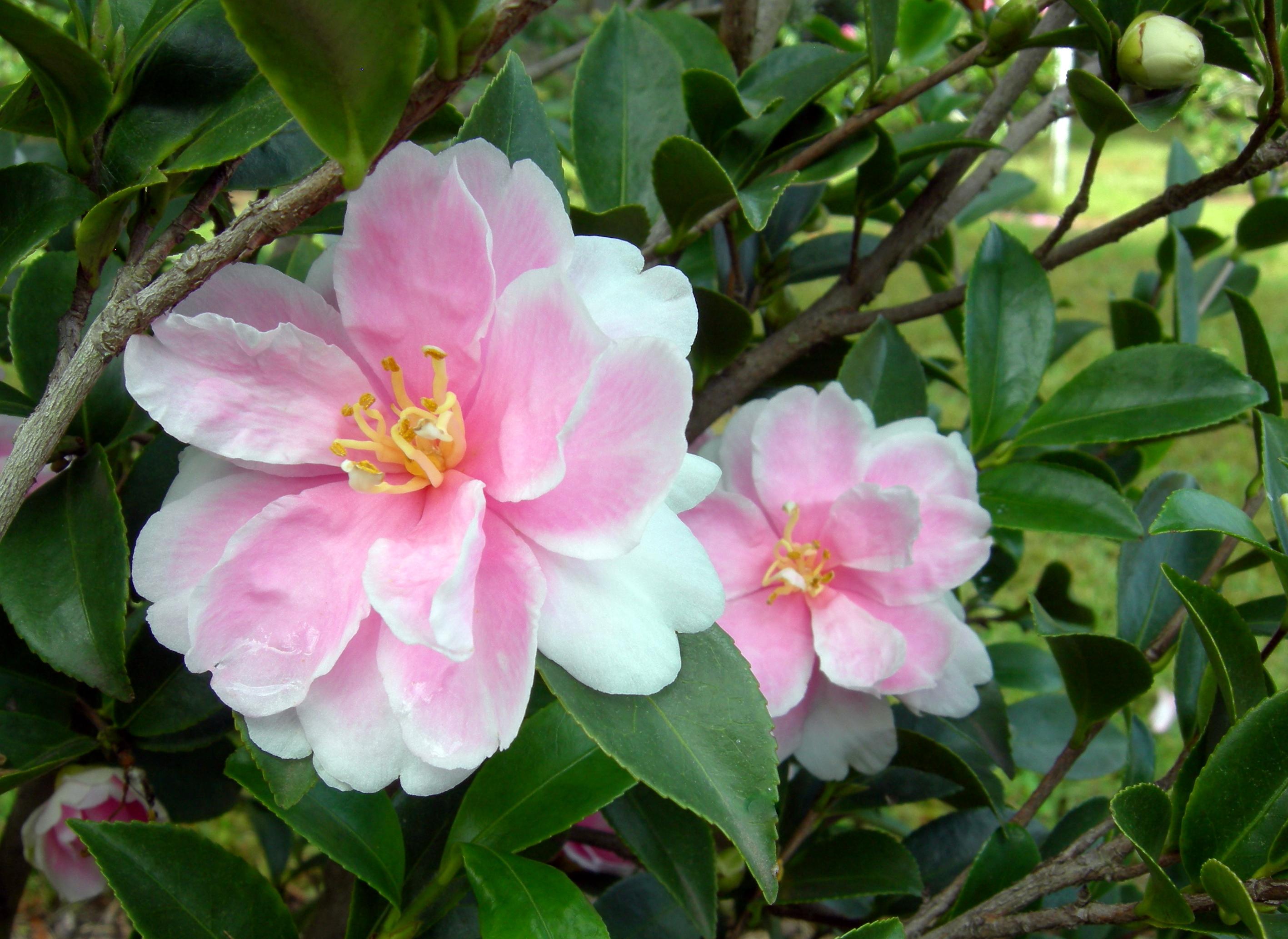Camellia sasanqua hybrid 'Dream Angel'