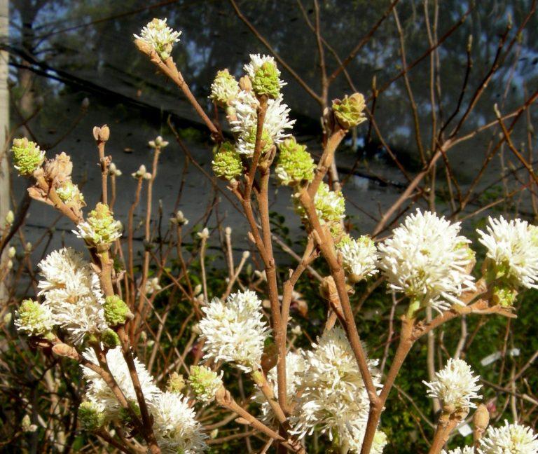 Fothergilla species 'Redneck Nation'
