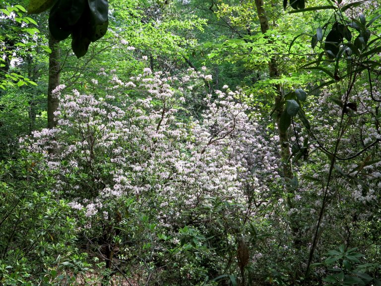 Kalmia tree in the Red Hills of Alabama