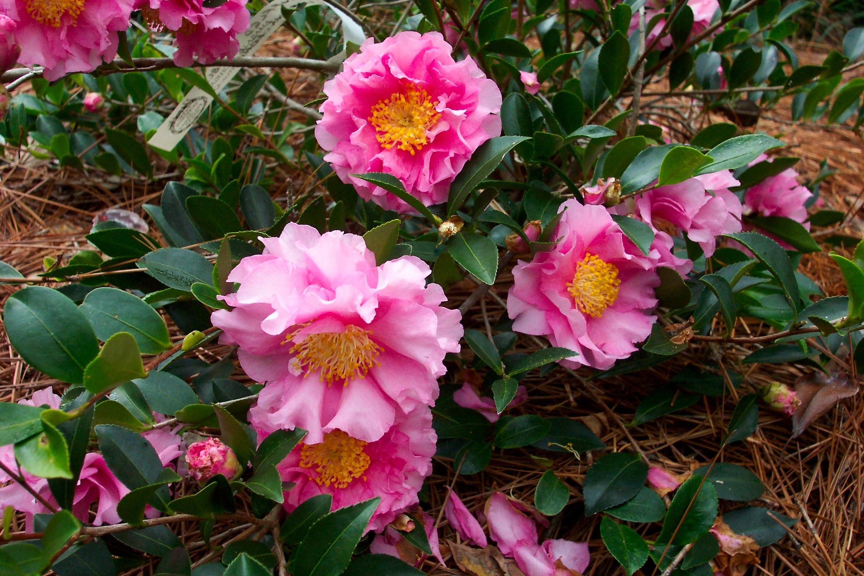 Camellia sasanqua October Magic Carpet Green 01-06