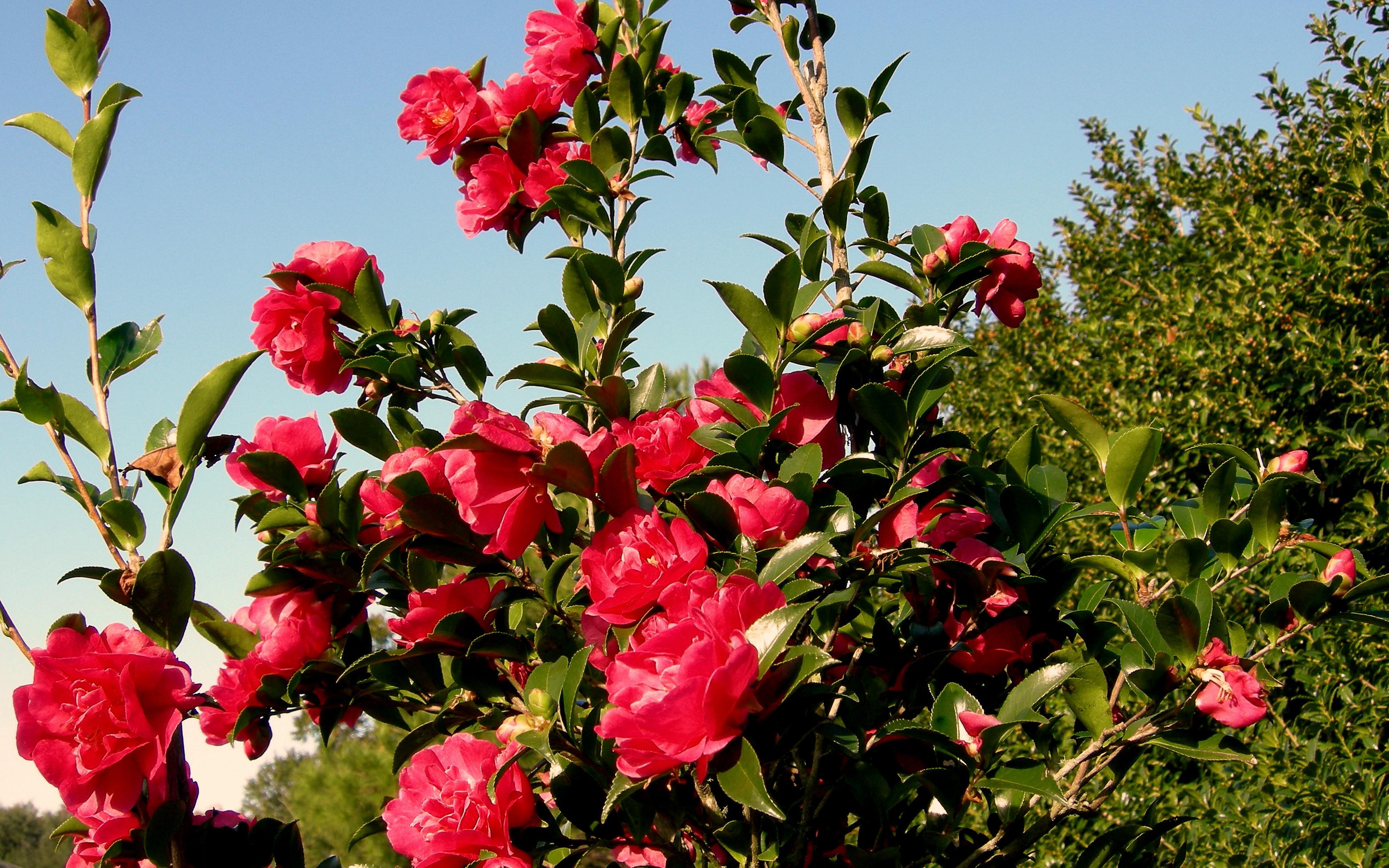 S98-009 October Rose. Spray2
