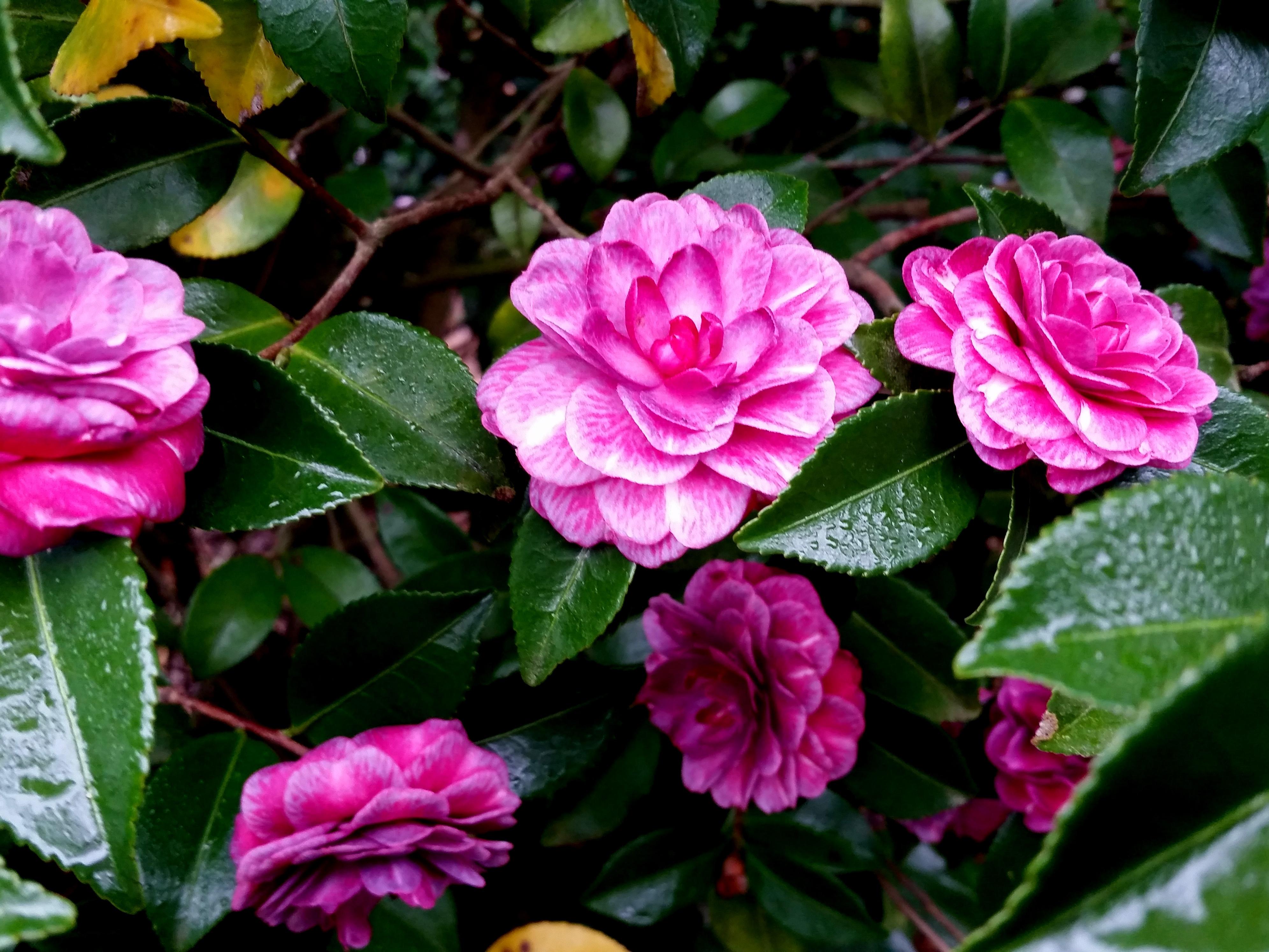 Camellia sasanqua 'Purple Haze'