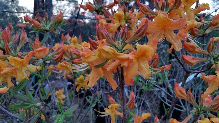 Rhododendron 'Lookout Mountain' (austrinum x 'Hotspur Yellow'