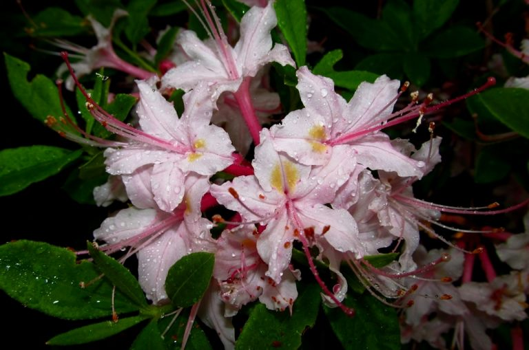 Rhododendron colemanii 'Holly Mill Creek'
